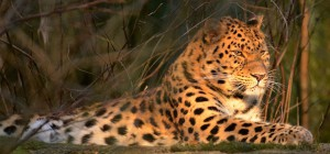 Amurleopard i Nordens Ark. Foto: Arnt Mollan