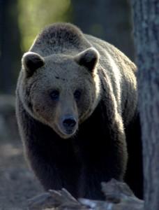 Bjørn i Finland